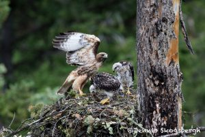 5438 Red-tailed Hawk Nest with Chicks, Kamloops, BC