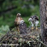 5439 Red-tailed Hawk Nest with Chicks, Kamloops, BC