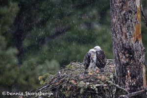 5440 Red-tailed Hawk Nest and Chicks, Kamloops, BC
