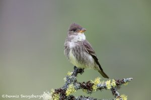 5441 Olive-sided Flycatcher (Contopus cooperi), Kamloops, BC
