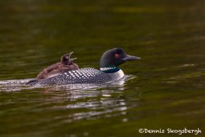 5444 Common Loon (Gavia immer) and Chick, Lac Le Jeune, BC