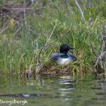 5445 Common Loon (Gavia immer) on Nest, Lac Le Jeune, BC