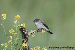 5446 Willow Flycatcher (Empidonax traillii), Kamloops, BC