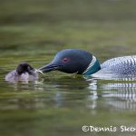 5447 Common Loon (Gavia immer) Feeding Chick, Lac Le Jeune, BC