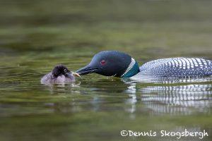 5447 Common Loon (Gavia immer) Feeding Chick, Lac Le Jeune, BC