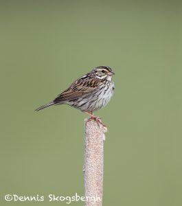 5450 Savannah Sparrow (Passerculus sandwichensis), Kamloops, BC