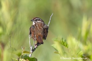 5451 Song Sparrow (Melospiza melodia), Lac Le Jeune, BC