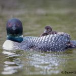 5452 Common Loon (Gavia immer) and Chick, Lac Le Jeune, BC