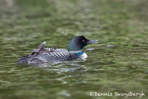 5453 Common Loon (Gavia immer) and Chick, Lac Le Jeune, BC