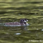 5454 Common Loon (Gavia-immer) Chicks, Lac Le Jeune, BC