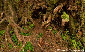 5493 Hoh Rainforest, Hall of Mosses Trail, Olympic National Park, WA