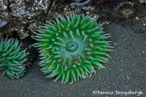 5495 Sea Anemone, Ruby Beach Tide Pool, Olympic National Park, WA