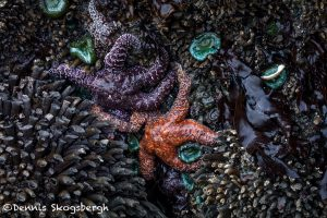 5496 Sea Stars, Ruby Beach, Olympic National Park, WA