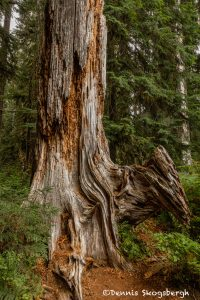 5498 Hoh Rainforest, Hall of Mosses-Trail,-Olympic-National-Park,-WA copy