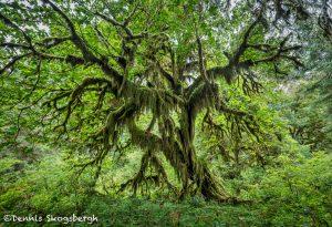 5514 Hoh Rainforest, Olympic National Park, WA