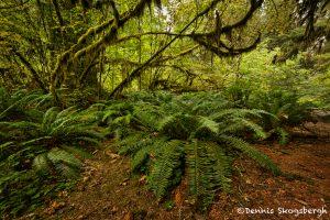 5515 Hoh Rainforest, Olympic National Park, WA