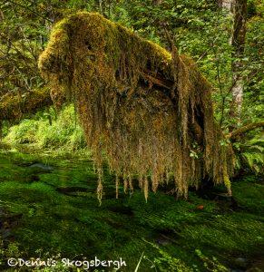 5502 Hoh Rainforest, Olympic National Park, WA