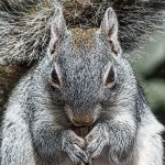 5527 Arizona Gray Squirrel (Sciurus arizonensis)
