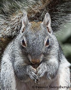 5527 Arizona Gray Squirrel (Sciurus arizonensis)