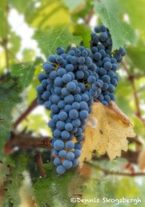 5584 Harvest Time, Vineyard, Santa Rosa, California