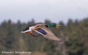 5619 Male Mallard (Anas platyryhnchos), Vancouver Island, Canada