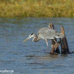 5622 Great Blue Heron (Ardea herodias), Hagerman NWR, Sherman, Texas
