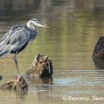 5628 Great Blue Heron (Ardea herodias), Hagerman NWR, Sherman, Texas