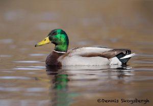 5631 Male Mallard (Anas platyryhnchos), Vancouver Island, Canada
