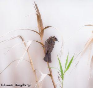 5688 Female Red-winged Blackbird (Angelaius phoeniceus), Anahuac NWR, Texas