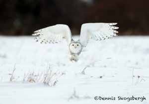 5692 Snowy Owl (Bubo scandiacus), Ontario, Canada