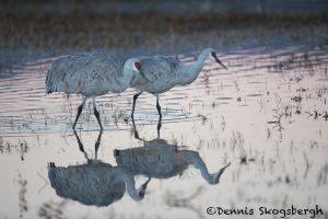 5727 Sunrise, Sandhill Cranes (Grus canadensis), Bosque del Apache NWR, New Mexico