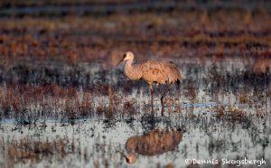 5729 Sunrise, Sandhill Crane (Grus canadensis), Bosque del Apache NWR, New Mexico