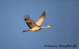 5730 Sandhill Crane (Grus canadensis), Bosque del Apache NWR, New Mexico