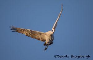 5731 Sandhill Crane (Grus canadensis), Bosque del Apache NWR, New Mexico