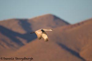 5732 Sandhill Crane (Grus canadensis), Bosque del Apache NWR, New Mexico