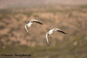 5734 Snow Geese (Chen caerulescens), Bosque del Apache NWR, New Mexico