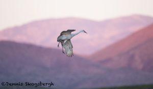 5735 Sandhill Crane (Grus canadensis), Bosque del Apache NWR, New Mexico