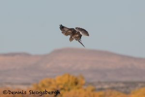 5736 Northern Harrier (Circus cyaneus), Bosque del Apache NWR, New Mexico