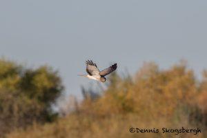 5737 Northern Harrier (Circus cyaneus), Bosque del Apache NWR, New Mexico