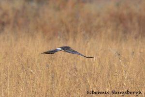 5738 Northern Harrier (Circus cyaneus), Bosque del Apache NWR, New Mexico