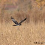 5739 Northern Harrier (Circus cyaneus), Bosque del Apache NWR, New Mexico