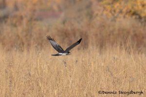 5739 Northern Harrier (Circus cyaneus), Bosque del Apache NWR, New Mexico