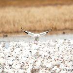 5740 Snow Geese (Chen caerulescens), Bosque del Apache NWR, New Mexico
