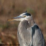 5741 Great Blue Heron (Ardea herodias), Bosque del Apache NWR, New Mexico