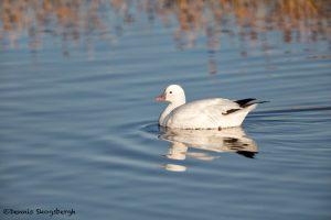 5742 Ross's Goose (Chen rossii), Bosque del Apache NWR, New Mexico