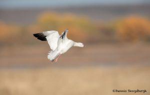 5743 Ross's Goose (Chen rossii), Bosque del Apache NWR, New Mexico
