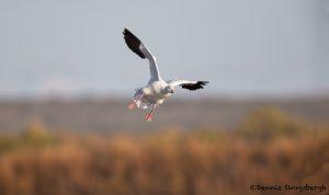 5746 Snow Goose (Chen caerulescens), Bosque del Apache NWR, New Mexico