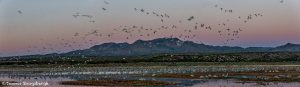 5750 Snow Geese Fly-in, Bosque del Apache NWR, New Mexico