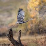 5754 Great Blue Heron (Ardea herodias), Bosque del Apache NWR, New Mexico
