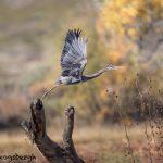 5754 Great Blue Heron (Ardea herodias), Bosque del Apache NWR, New Mexico